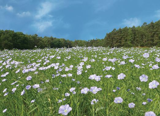 亜麻の花畑の写真